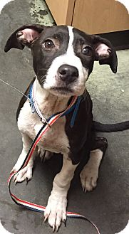 Boston Terrier/English Springer Spaniel Mix Puppy for adoption in PARSIPPANY, New Jersey - ELI