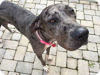 Great Dane Dog for adoption in Manassas, Virginia - Polo