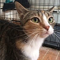 Domestic Shorthair Cat for adoption in Devon, Pennsylvania - Cherice