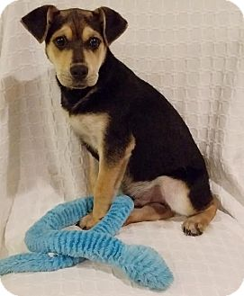 German Shepherd Dog/Labrador Retriever Mix Puppy for adoption in Newark, Delaware - Teddy