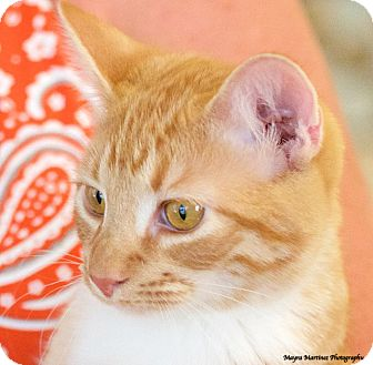 Domestic Shorthair Cat for adoption in Chattanooga, Tennessee - Taz