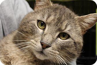 Domestic Shorthair Cat for adoption in Warwick, Rhode Island - Brutus