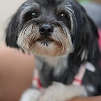 Adopt A Pet :: Gidget - Matthews, NC