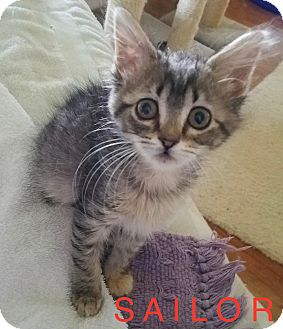 Domestic Shorthair Kitten for adoption in detroit, Michigan - SAILOR-adopted 7-29-17
