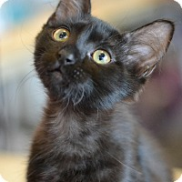 Domestic Longhair Kitten for adoption in Montgomery, Texas - Soft Kitty