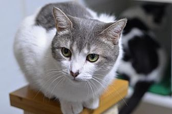 Domestic Shorthair Cat for adoption in Atlanta, Georgia - Harpy 161651