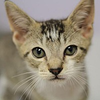Adopt A Pet :: Gizmo II - Raleigh, NC