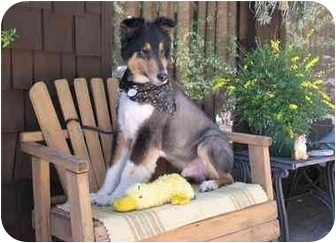Collie Dog for adoption in Trabuco Canyon, California - Bandit