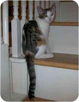 Domestic Shorthair Kitten for adoption in Houston, Texas - Panini