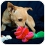 Photo 3 - Chihuahua Mix Puppy for adoption in San Clemente, California - Pan