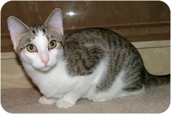 Domestic Shorthair Kitten for adoption in Chattanooga, Tennessee - Forrest