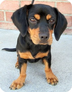Dachshund/Beagle Mix Puppy for adoption in Los Angeles, California - Button *VIDEO*