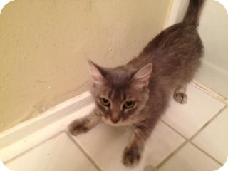 Domestic Mediumhair Cat for adoption in Houston, Texas - Silver