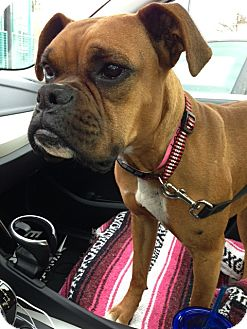 Boxer Dog for adoption in Santa Monica, California - Kylie