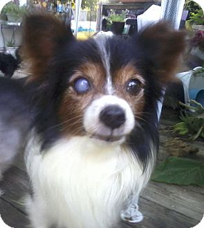 Papillon Dog for adoption in Hagerstown, Maryland - Carlton