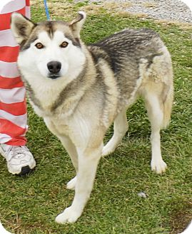 Alaskan Malamute/Siberian Husky Mix Dog for adoption in Washington Court House, Ohio - Thunder