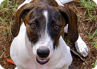Sheltie, Shetland Sheepdog/Dachshund Mix Puppy for adoption in Ocala, Florida - Savannah the Princess Puppy