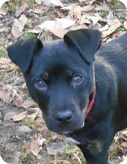 Boxer/Labrador Retriever Mix Puppy for adoption in frenchburg, Kentucky - ERIN