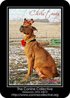 Great Dane/Hound (Unknown Type) Mix Dog for adoption in Delaware, Ohio - Christmas