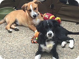 Border Collie Mix Puppy for adoption in Poway, California - 4  BORDER COLLIE MIX PUPPIES