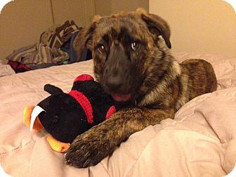 Belgian Malinois Mix Puppy for adoption in Santa Barbara, California - Jewel