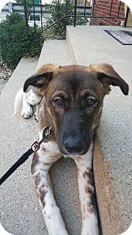 Akita/German Shepherd Dog Mix Puppy for adoption in Oak Park, Illinois - Tia