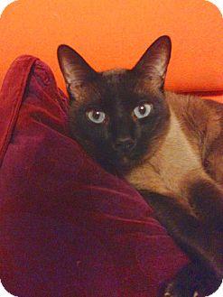 Siamese Cat for adoption in Alexandria, Virginia - Sanu
