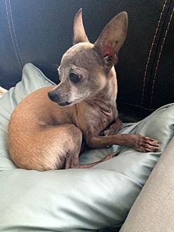Chihuahua Dog for adoption in Astoria, New York - Reeses