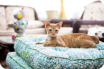 American Shorthair Kitten for adoption in Jacksonville, Florida - Oliver