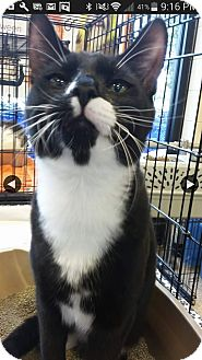 Domestic Shorthair Kitten for adoption in Riverview, Florida - Tux