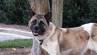 Akita Dog for adoption in Virginia Beach, Virginia - Ivy