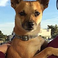 Adopt A Pet :: Taco2 aka Wiley - Las Vegas, NV