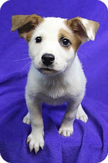 Australian Shepherd Mix Puppy for adoption in Westminster, Colorado - SUNNY