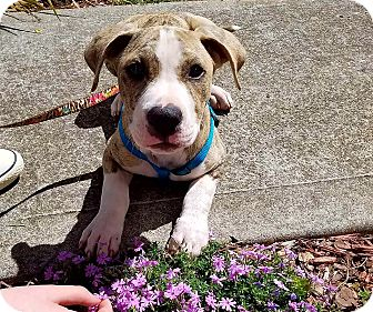 Pit Bull Terrier Puppy for adoption in Decatur, Georgia - Chip