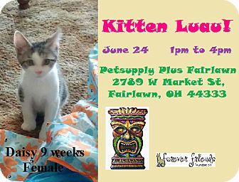 Domestic Shorthair Kitten for adoption in Northfield, Ohio - DAISY