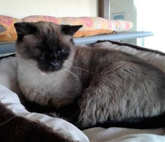 Domestic Shorthair/Siamese Mix Cat for adoption in Rio Rancho, New Mexico - Keebler