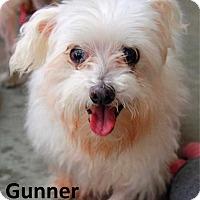 Maltese Dog for adoption in Lake Forest, California - Gunner