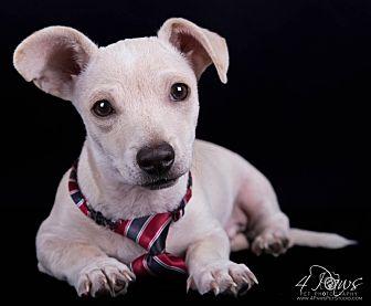Dachshund/Chihuahua Mix Puppy for adoption in Lodi, California - River