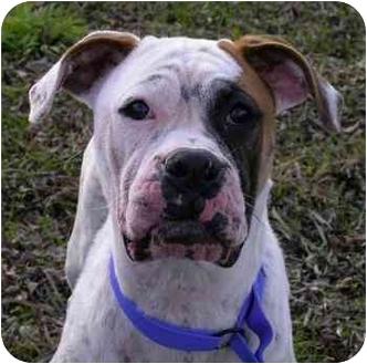 Boxer Dog for adoption in Savannah, Georgia - Dakota