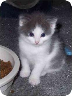 Domestic Shorthair Kitten for adoption in Delmont, Pennsylvania - Alex & Nate