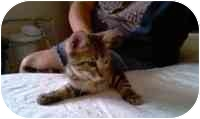 Domestic Shorthair Kitten for adoption in Tampa, Florida - Jill