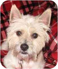 Westie, West Highland White Terrier Dog for adoption in Frisco, Texas - Mikey