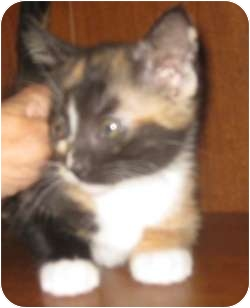 Calico Kitten for adoption in Dallas, Texas - Tiger Lily