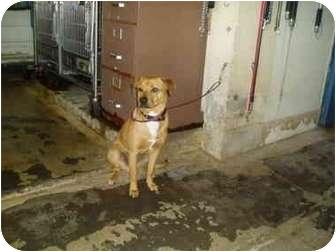 Shar Pei/Shepherd (Unknown Type) Mix Dog for adoption in El Cajon, California - Princess