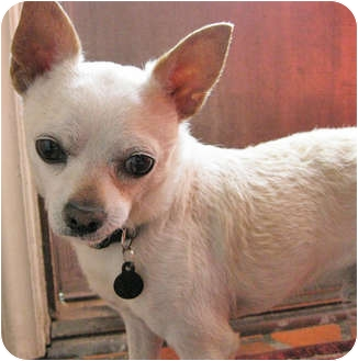 Chihuahua Mix Dog for adoption in Mt. Prospect, Illinois - Moose