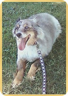 Australian Shepherd Mix Dog for adoption in Scottsdale, Arizona - Lynx