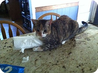 Domestic Shorthair Cat for adoption in Chesterfield, Virginia - Maple