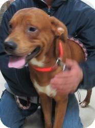 Labrador Retriever/Boxer Mix Dog for adoption in Chicago, Illinois - Copper (URGENT!)