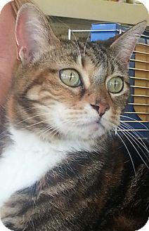 Bengal Cat for adoption in Pasadena, California - Savannah