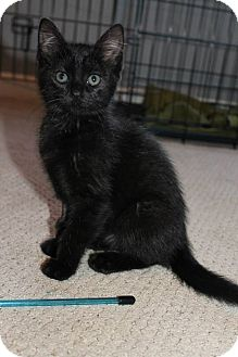 Domestic Shorthair Kitten for adoption in Knoxville, Tennessee - Marceline A.K.A Marcie